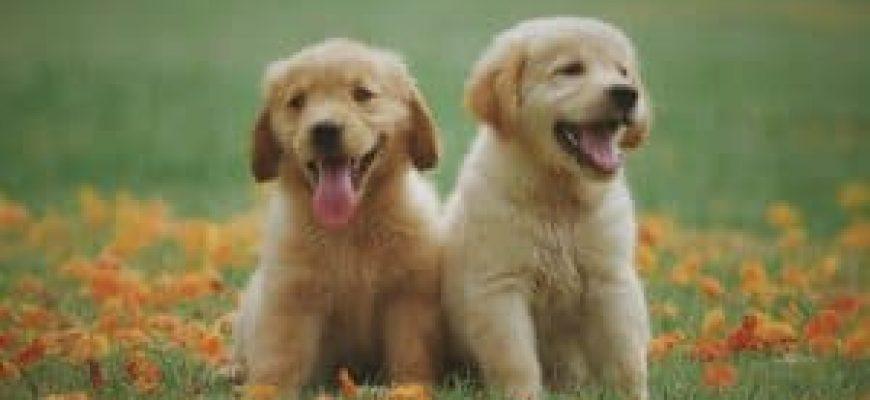 אילוף כלבים לצרכים שונים
